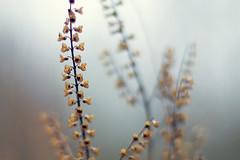 sanft (~janne) Tags: plant berlin nature 50mm flora f14 natur pflanzen olympus wetzlar tegel leitz reinickendorf janusz manuell summiluxr e520 ziob