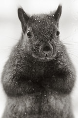 Please, lady, my nuts? (Gordana AM) Tags: winter bw pet brown snow cute fur rodent backyard squirrel critter january whiskers duotone snowing active dutone