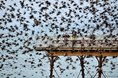 The birds! (Shane Jones) Tags: sea birds pier nikon flock ceredigion starlings mobbed aberytwyth 70300vr d7000