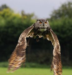 In it's sights! (Wilamoyo) Tags: bird nature animal flying wings eyes focus eagle bokeh hunting flight off sharp owl take