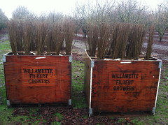 Bareroot Hazelnut Trees ready for delivery (growing hazelnuts) Tags: farming treeroots hazelnuts hazelnuttree nurserystock yearlingtree