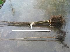 hazelnut #1 grade Yamhill nursery bundle and single (growing hazelnuts) Tags: farming treeroots hazelnuts hazelnuttree treeheight nurserystock yearlingtree