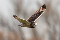 Short Eared Owl (Dan Belton ( No Badger Cull )) Tags: winter bird nature birds animal january short owl 2012 eared asioflammeus stupidblackbox