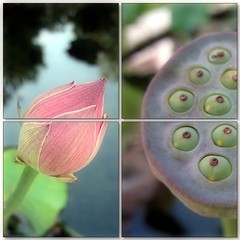 (Tlgyesi Kata) Tags: lotus blossom mosaic budapest botanicalgarden mozaik lotusflower fvszkert botanikuskert withcanonpowershota620 ltuszvirg