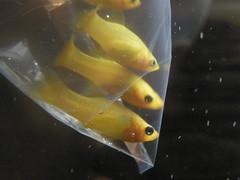Day 22 - 1/22/12: New Additions, 24K Gold Mollies (IslesPunkFan) Tags: pet fish water gold aquarium tank diary molly freshwater dail 24k poecilia sphenops