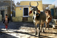 Stepping out.. (areyarey) Tags: street light india girl walking cow town shadows cows candid peaceful atmosphere scene holy coexistence moment rajasthan nonchalant areyarey