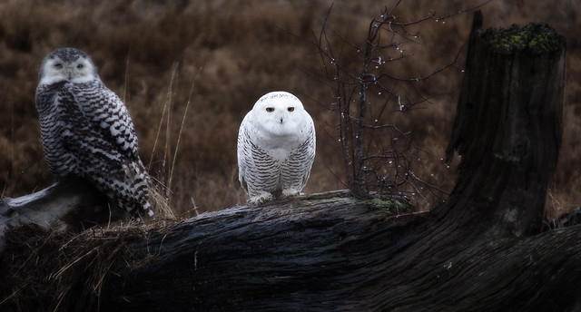 SNOWY OWL-13