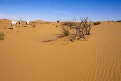Camels Life - Explore (TARIQ-M) Tags: shadow tree texture landscape sand waves pattern desert patterns dunes wave camel camels riyadh saudiarabia بر الصحراء جمال canoneos5d الرياض صحراء رمال جمل ابل رمل الدهناء طعس كانون نياق المملكةالعربيةالسعودية الرمل ناقة خطوط صحاري ef1635mmf28liiusm canoneos5dmarkii نفود الرمال كثبان براري تموجات تموج نفد صحراءالدهناء ripplesripple ارطاء
