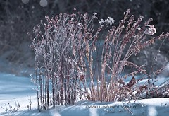 Beautifully Encased (Vicki Lund Photography) Tags: new morning pink winter england ice nature reflections garden landscapes raw photographer dof seascapes natural bokeh fineart maine photojournalism encased naturallight winter sweetlight followthelight nikond90 vickilundphotography colorsnatural copywrite wwwvickilundphotographycom httponfbmevickilundphotographywelcome httpaboutmevickilundphotography