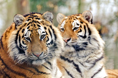 Tigers (Jez22) Tags: tigers siberian two wild animals cute big cats stripes whiskers striped carnivores copyright specanimal fierce