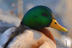 Bird - Duck - Mallard (blmiers2) Tags: green bird nature yellow duck nikon bokeh mallard birdperfect d3100