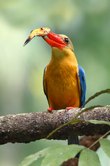 Stork-billed Kingfisher (kampang) Tags: storkbilledkingfisher pelargopsiscapensis