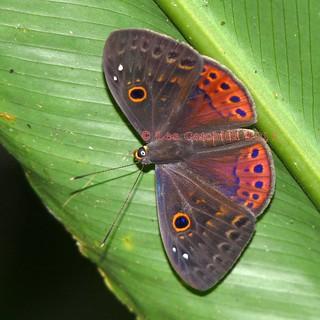 Eurybia nicaeus erythinosa