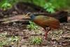 Grey-necked Wood Rail (Aramides cajanea) (PeterQQ2009) Tags: brazil birds pantanal aramidescajanea greyneckedwoodrail aramidescajaneus