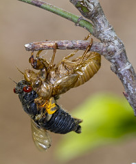Cicada   (Magicicada spp.) (Sports Mom Photography) Tags: insectsandspiders