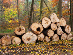 Sawed off Tree Trunks in Autumn Forest (Batikart ... handicapped ... sorry for no comments) Tags: park autumn light orange brown sun black color colour tree fall nature leaves yellow forest canon germany season landscape geotagged carpet deutschland golden buchenwald leaf moss flora colorful europa europe earth herbst jahreszeit natur foliage gelb trunk colourful blatt landschaft wald bltter baum beech moos 2012 g11 buche stamm badenwrttemberg bole baumstamm swabian 2011 sawedoff weinstadt aichwald strmpfelbach regionstuttgart batikart 201202 canonpowershotg11