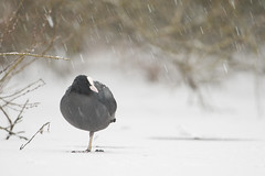 Coot in Falling Snow (glidergoth) Tags: winter snow cold birds yorkshire reserve coot rspb fairburn britishbirds