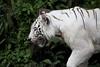 IMG_2405 (Marc Aurel) Tags: zoo singapore tiger tigre singapur whitetiger zoologischergarten singaporezoo weddingtrip hochzeitsreise bengaltiger pantheratigris zoologicalgarden königstiger pantheratigristigris royalbengaltiger pantheratigrisbengalensis weisertiger 5dmarkii eos5dmarkii indischertiger tigrebiancha