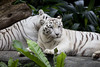 IMG_2480 (Marc Aurel) Tags: zoo singapore tiger tigre singapur whitetiger zoologischergarten singaporezoo weddingtrip hochzeitsreise bengaltiger pantheratigris zoologicalgarden königstiger pantheratigristigris royalbengaltiger pantheratigrisbengalensis weisertiger 5dmarkii eos5dmarkii indischertiger tigrebiancha