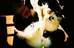 Twins (saviorjosh) Tags: travel dog pet white holiday hongkong lomo lca xpro lomography kodak crossprocessing 100 expired doggies saikung elitechromeextracolor ebx may2011