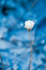 Winter evening 2012 (jacobsfrank) Tags: winter snow flower color closeup landscape evening blauw belgium sneeuw bloem ijs kleur beveren