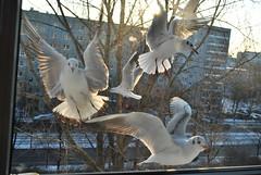 berlin birds 1 (änskchauchat) Tags: seagulls berlin nature birds animals tiere fly flying seagull vögel möwe möwen tier vogel fliegen birs