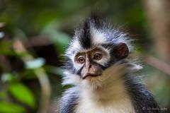 Thomas Leaf Monkey 4717 (Ursula in Aus (Resting - Away)) Tags: animal sumatra indonesia monkey unesco bukitlawang gunungleusernationalpark earthasia sumatrangrizzledlangur thomasslangur presbytisthomasi thomasleafmonkey
