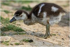 Happy Easter ! (FocusPocus Photography) Tags: bird animal goose gans egyptian gosling neckar ludwigsburg tier vogel gnsekken alopochen aegyptiacus nilgans