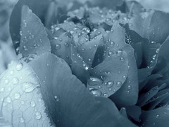 (Landanna) Tags: bw white black nature droplets natur natuur raindrops zwart wit sort regn hvid zw dikkeregendruppels