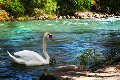 Swan (stephanie_degen_photography.ch) Tags: life sun nature beauty animal happy schweiz switzerland tiere spring swan nikon suisse outdoor swiss natur basel 28 schwan f28 tier frühling 70200mm d810