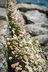 Gnseblmchen (vaticarsten) Tags: schweiz see natur pflanzen blumen ch blten vaud genf nyon