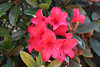 IMG_3035.JPG (robert.messinger) Tags: flowers rhodies