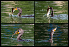 Double-crested Cormorant with Channel Catfish (Jeff Bray) Tags: california county orange eating catfish cormorant audubon explored