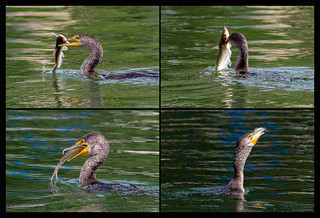 Double-crested Cormorant with Channel Catfish