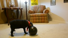 Bandit vs. Bowling Ball (Band!to) Tags: dog poodle bestfriend loyal superpoodle