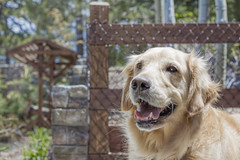 happy boy (Exdeltalady) Tags: family dog 50mm golden buddy retriever mansbestfriend pal companion goldens loyal niftyfifty canon7d