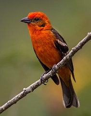Flame-colored Tanager (Explored) (Eric Gofreed) Tags: costarica tanager flamecoloredtanager ranchonaturlalista