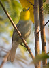 Yellow-headed Warbler - Teretistris fernandinae (Aphelocoma_) Tags: bird nature animal march spring image wildlife cuba aves warbler 2015 passeriformes canonextenderef14xii parulidae pinardelrío elpinar teretistris canoneos5dmarkiii yellowheadedwarbler teretistrisfernandinae canonef300mmf28lisiiusmlens