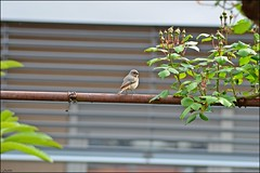 Redstart (franciska_bosnjak) Tags: bird nature nikon outdoor redstart phoenicurusphoenicurus d3100