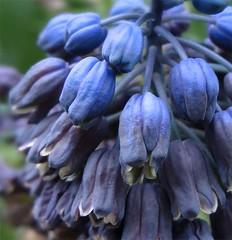 The-blues-of-spring (gomosh2) Tags: blue hyacinth grapehyacinth blueflowers