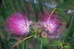 Mimosa (bamboosage) Tags: lens 45 enlarger schneiderkreuznach componar