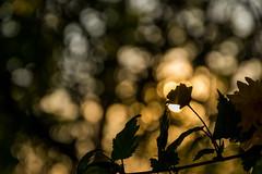 Silouhette (peterfatson) Tags: fleur pentax bokeh contrejour wr silouhette k3 1685