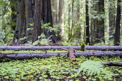 Redwood Forest Floor (Xynalia) Tags: california ca floor branches redwoods clover humboldtcounty avenueofthegiants