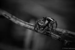 Where I go (petrisalonen) Tags: nature finland spider tamron90mm naturephotography macrophotography kenko hmhkki canon6d luontokuvaus hyppyhmhkki suomenluonto