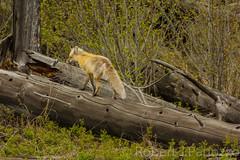 Easy way out (ChicagoBob46) Tags: fox yellowstonenationalpark yellowstone redfox