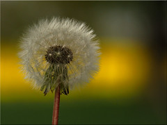 Blowball - before the big storm (Ostseeleuchte) Tags: nature natur dandelion rapsfeld lwenzahn blowball pusteblumeamrapsfeld