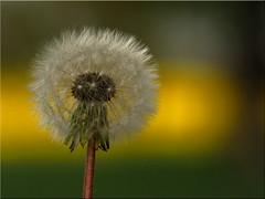 Blowball - before the big storm (Ostseeleuchte) Tags: nature natur dandelion rapsfeld lwenzahn blowball pusteblumeamrapsfeld
