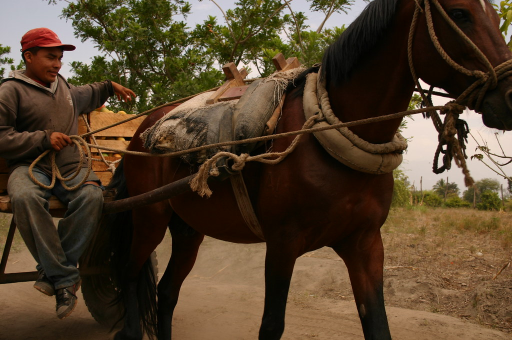 Transport mangues