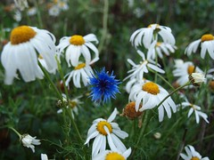 Autumn Cornflower (Axiraa) Tags: autumn flower estonia cornflower bluebottle bachelorsbutton centaureacyanus mayweed boutonniereflower hurtsickle kesalill matricarial cyaniflower