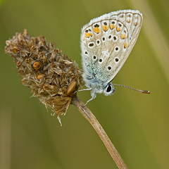 Azur sur gramine (Sinkha63) Tags: france macro nature animal butterfly die wildlife ngc lepidoptera papillon commonblue polyommatusicarus lycaenidae drme rhnealpes polyommatus polyommatinae azur parcnaturelrgionalduvercors argusbleu azurdelabugrane mygearandme mygearandmepremium mygearandmebronze mygearandmesilver mygearandmegold mygearandmeplatinum mygearandmediamond rememberthatmomentlevel1